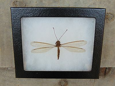 E345) Real Owlfly Owl Fly 4X5 framed display butterfly insect bug taxidermy USA!