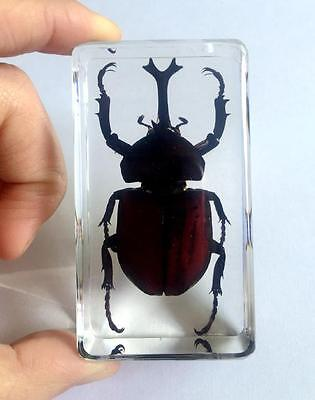 cool Design real huge beetle Lucanidae clear paperweight wholesale jewelry