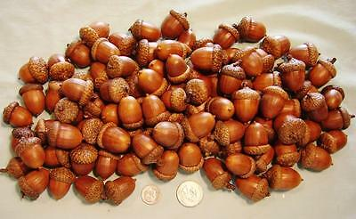 100 Large Real Acorns with Caps – Completed for Arts and Crafts