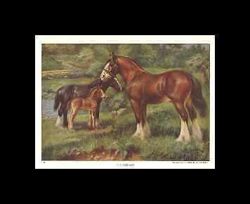 Clydesdale - 1923 Vintage Horse Print - Matted