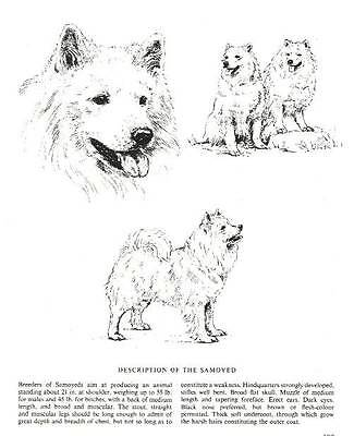 Samoyed Sketch - 1963 Vintage Dog Print - Matted