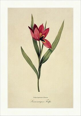 Sonnenaugen Tulpe Tulipa Agenensis Liliaceae Glockenförmig Narbe Redoute 056