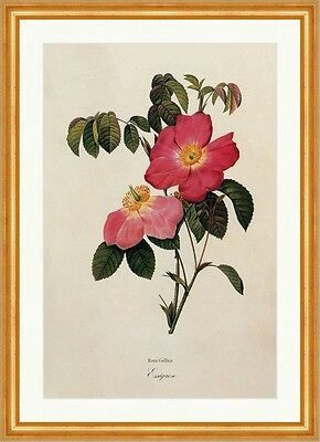 Essigrose Rosa Gallica French Rosier France Simples Fleurs Flore Redoute 180