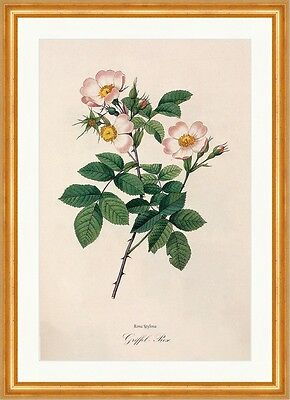 Griffel - Rose Rosa Stylosa Rosier Court Style Hellrosa Pflanze  Redoute 193