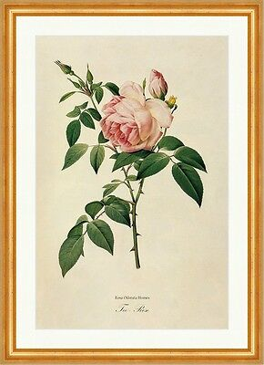 Tee - Rose Rosa Odorata Sweet Humes Tea Scented China Rosier Odeur Redoute 151