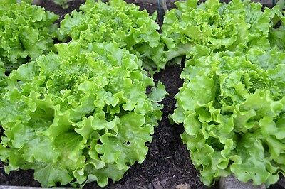LETTUCE 250+ seeds 'Salad Bowl Green' vegetable garden EASY TO GROW salad greens