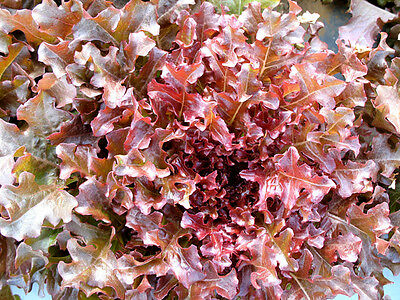 LETTUCE 250+ seeds 'Salad Bowl Red' vegetable garden EASY TO GROW salad greens