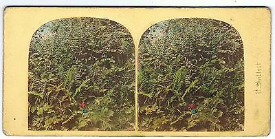 Tinted Stereoview -  Outdoor Scene Of Flowers And Ferns