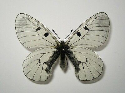 PAPILIONIDAE  PARNASSIUS MNEMOSYNE , MALE from LITHUANIA