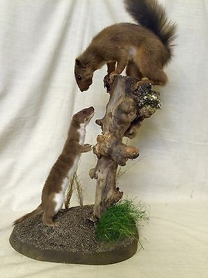 Taxidermy squirrel and weasel