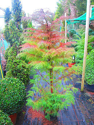 5ft Japanese Red Temple Cedar - 10litre size - evergreen, red in winter!