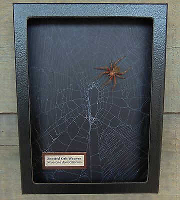 N5) Real Spotted Orb Weaver Spider on actual Web framed shadowbox taxidermy USA