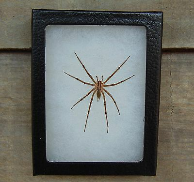 E108) Real FUNNEL WEAVER SPIDER Agelenopsis 4X3 NICE Framed Taxidermy Display US