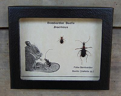 E357) Real BOMBARDIER Beetle Brachinus 4X5 framed butterfly insect taxidermy USA