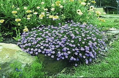 SWAN RIVER DAISY 200+ seeds BRACHYSCOME 'Blue' *NATIVE* flower garden rockery