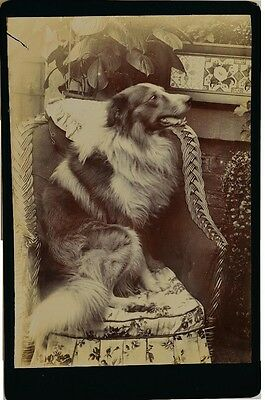 Antique Cabinet Dog Photograph ~ Collie On Wicker Chair