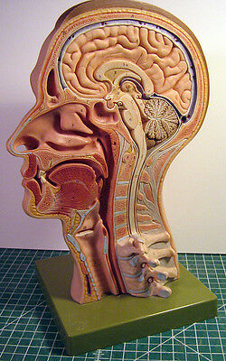 Brain Anatomy Model Large Medial View Somso Quality