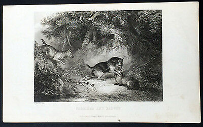 1830 Pittman Original Antique Print of Terrier Dogs Hunting Badgers