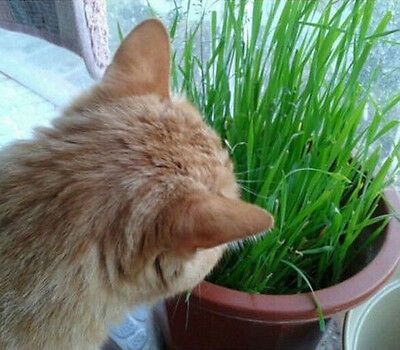 FD1063 Cat Grass Seed For Your Cat Food Pet Food Pet Grass Seed 200 Seed /1 Bag