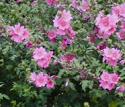 Lavatera × clementii 'Rosea' Tree mallow (Sent in 9cm Pot)