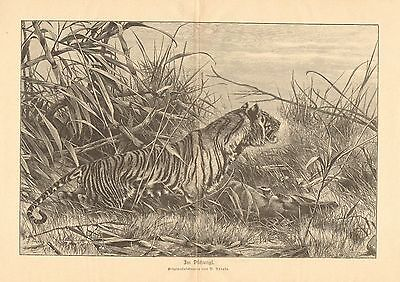 Bengal Tiger, In The Jungle, Antelope For Lunch, Vintage 1893 Antique Art Print