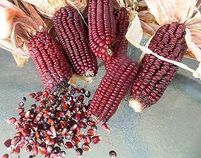 CORN 'Red Aztec' 15+ seeds maize OLD HEIRLOOM vegetable garden heritage unusual