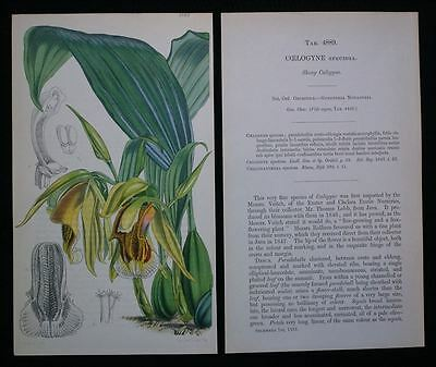 Coelogyne Speciosa - Orchidee Pflanze - kolor. Lithographie Fitch 1855 - Curtis
