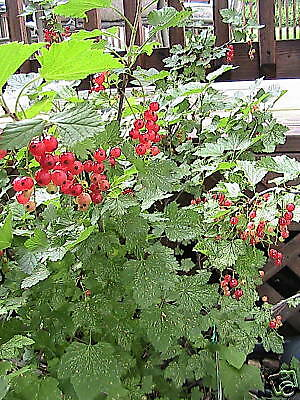 5 Red Lake Currant Cuttings For Propagation