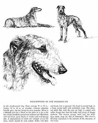 Scottish Deerhound Sketch - 1963 Vintage Dog Print - Matted