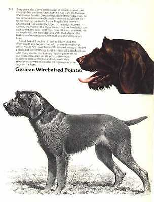 German Wirehaired Pointer Dog Print - 1976 Cozzaglio
