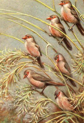 VINTAGE ART postcard of BIRDS : COMMON WAXBILL by CT ASTLEY MABERLY