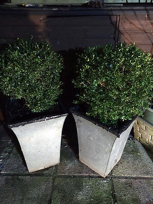 2 Large Evergreen Tree Established Topiary Balls /buxus Bush In Metal Plant Pots