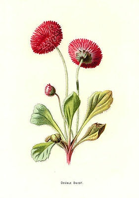 Double Daisy, 1880s antique botanical ready mounted print  Hulme SUPERB