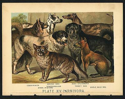 DOGS, NEWFOUNDLAND, GREYHOUND, Vintage 1897 Chromolithograph Print, Antique, 014