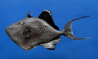 B387-64476 Redtoothed triggerfish- Odonus  niger, 175 mm, Freeze Dried