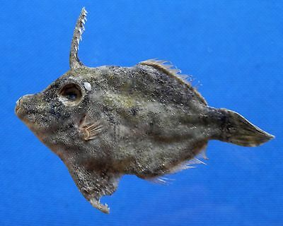 B298-62380 Matted Filefish - Acreichthys tomentosus, 58.5 mm Fresh Dried