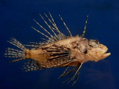 B399-64532 Bleeker's lionfish  - Ebosia bleekeri, 144 mm Freeze Dried