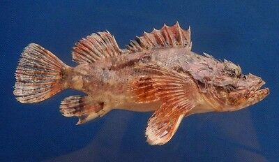 B399-64540 Weedy stingfish- Scorpaenopsis cirrosa, 147 mm,Freeze Dried Taxidermy