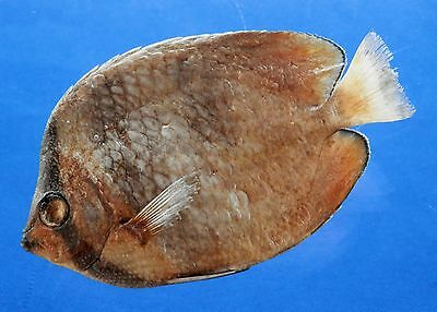 B67-58391 Black-lip butterflyfish - Chaetodon kleinii, 94.4 mm, Freeze Dried