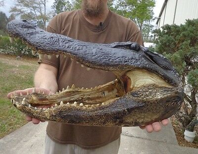 19 inch Alligator head from a 12 foot gator real taxidermy reptile # 24465
