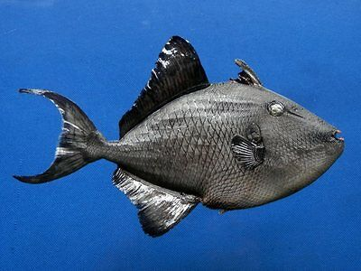 B387-64478 Redtoothed triggerfish- Odonus  niger, 165 mm, Freeze Dried