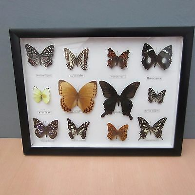 Set Of 12 Framed And Glazed Taxidermy Butterflies
