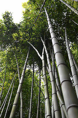 Bambusa bambos - Indian Thorny Bamboo - 25 Seeds