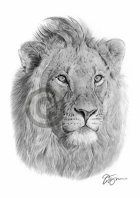 LION african wildlife pencil drawing art print A4 / A3 signed by UK artist