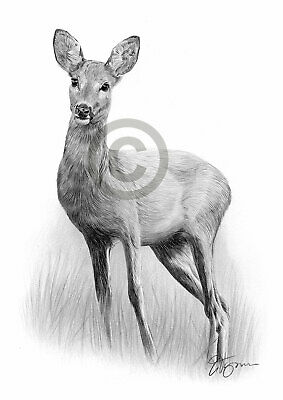 ROE DEER pencil / graphite print A4 / A3 signed by UK artist drawing art