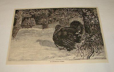 1885 magazine engraving ~ AN UNSUSPICIOUS TURKEY