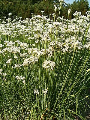 Organic Herb  Garlic / Chinese Chives  500 Seeds
