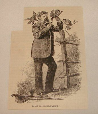 1886 magazine engraving ~ TAME SPARROW-HAWKS