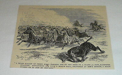 1878 magazine engraving ~ CULLING A HEARD OF ZEBRAS