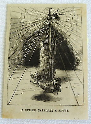 small 1882 magazine engraving ~ SPIDER CAPTURES A MOUSE